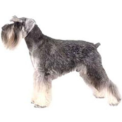 Photo of Miniature Schnauzer