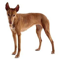 Photo of Pharaoh Hound