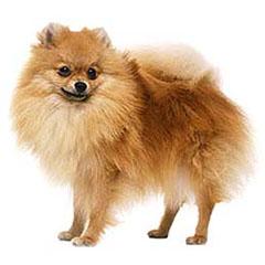Photo of Pomeranian