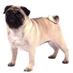 Photo of Pug