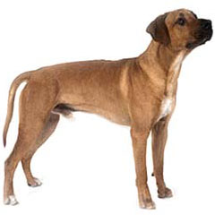 Photo of Rhodesian Ridgeback