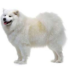 Photo of Samoyed
