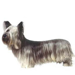 Photo of Skye Terrier