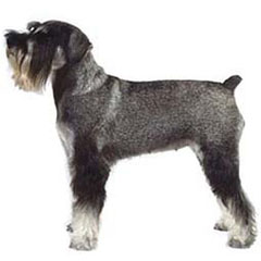 Photo of Standard Schnauzer