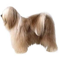 Photo of Tibetan Terrier