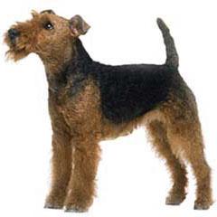 Photo of Welsh Terrier
