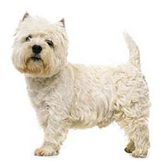 Photo of West Highland White Terrier