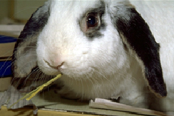 rabbits-diseases-2