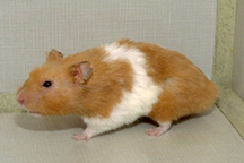 rodents-diseases-1