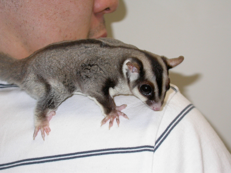 sugar_gliders-feeding-1