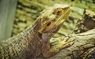 bearded_dragon