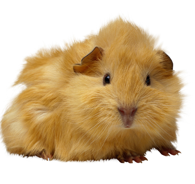 guinea_pigs_-_problems-1
