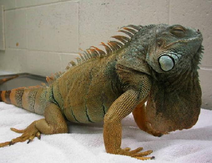 reptiles_-gout-1