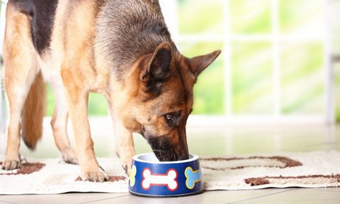 large-bowel-disease-nutrition-dogs