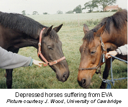 equine_viral_arteritis-1