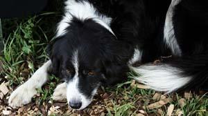 diabetic-ketoacidosis-in-dogs