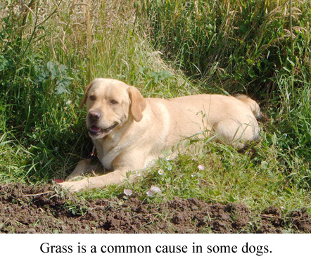 grass is a common allergy in dogs