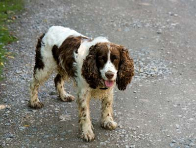 Picture of an English Springer Spaniel