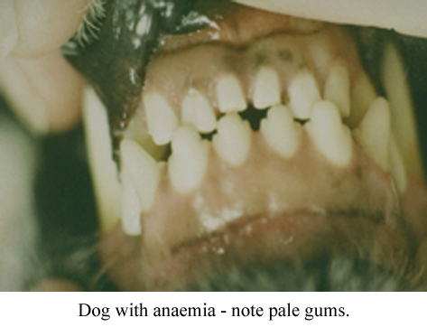 a dog with pale gums due to anaemia
