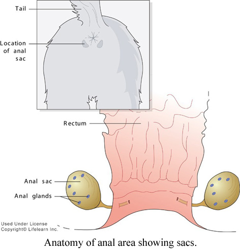 anatomy of anal area showing sacs