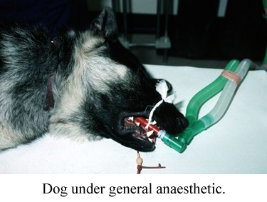 dog under general anaesthetic