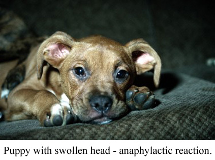 puppy with swollen head - anaphylactic reaction