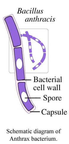 An anthrax spore