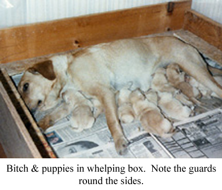 a bitch and her puppies in the whelping box