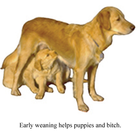 early weaning helps puppies and bitch