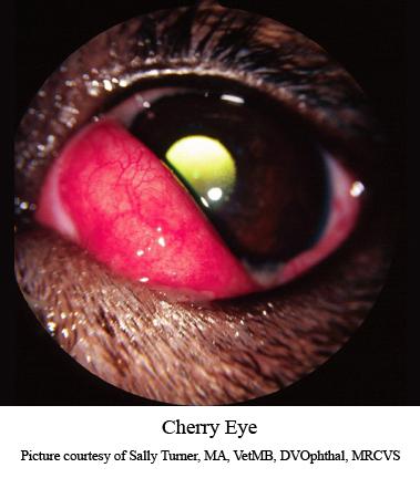 cherry eye in a dog