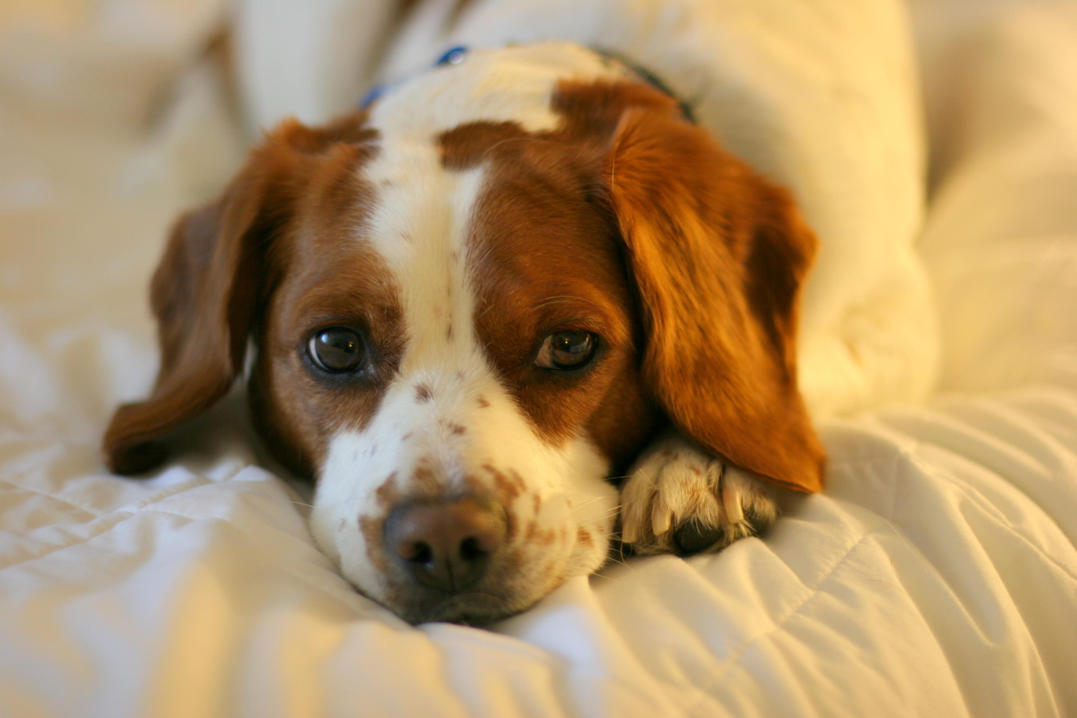 dog with coronavirus disease