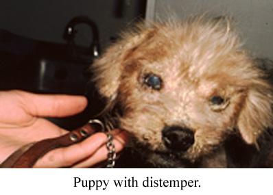 puppy with distemper
