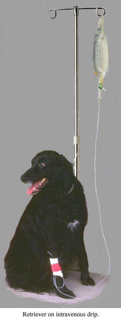Retriever on intravenous drip