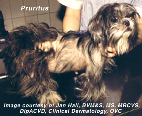 dog with pruritis