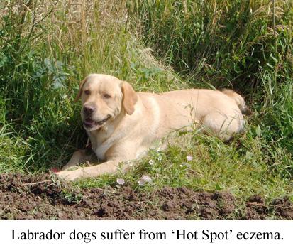 Labrador dogs suffer from hot spot eczema