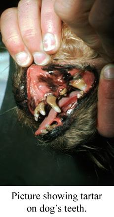 tartar on a dog's teeth