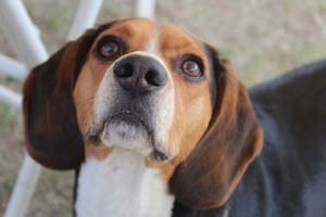 amyloidosis-in-dogs