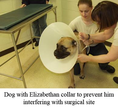 dog with Elizabethan collar