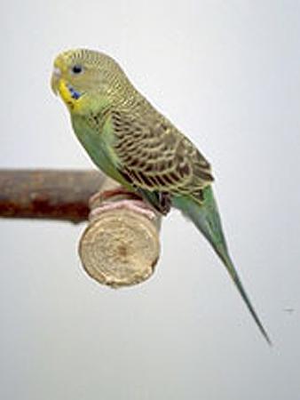 budgie sitting on a stick