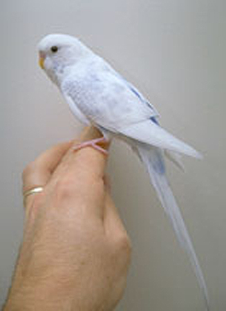 budgie sitting on a hand