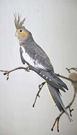 a cockatiel