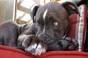 pitbull-123007_1280_cyanosis_in_dogs