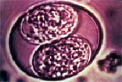 coccidiosis-1_-_2009