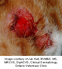 Picture of a mast cell tumor on a dog's skin