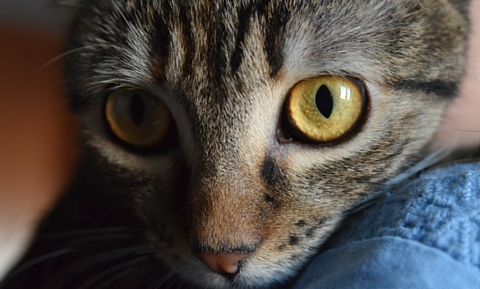 ulcerative_keratitis_in_cats