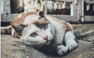 ataxia_in_cats