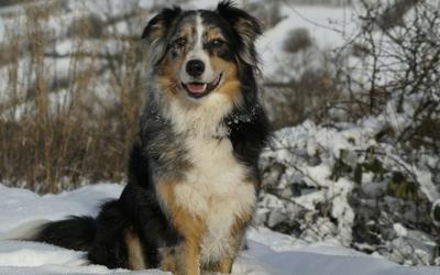 genetics_basics__coat_color_genetics_in_dogs