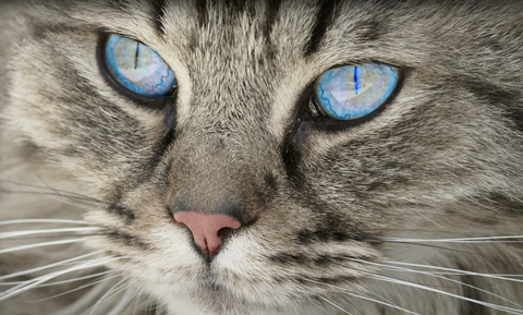eosinophilic_keratitis_in_cats