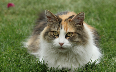 ovarian_remnant_syndrome_cat