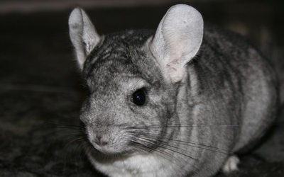 chinchilla_-_-_problems